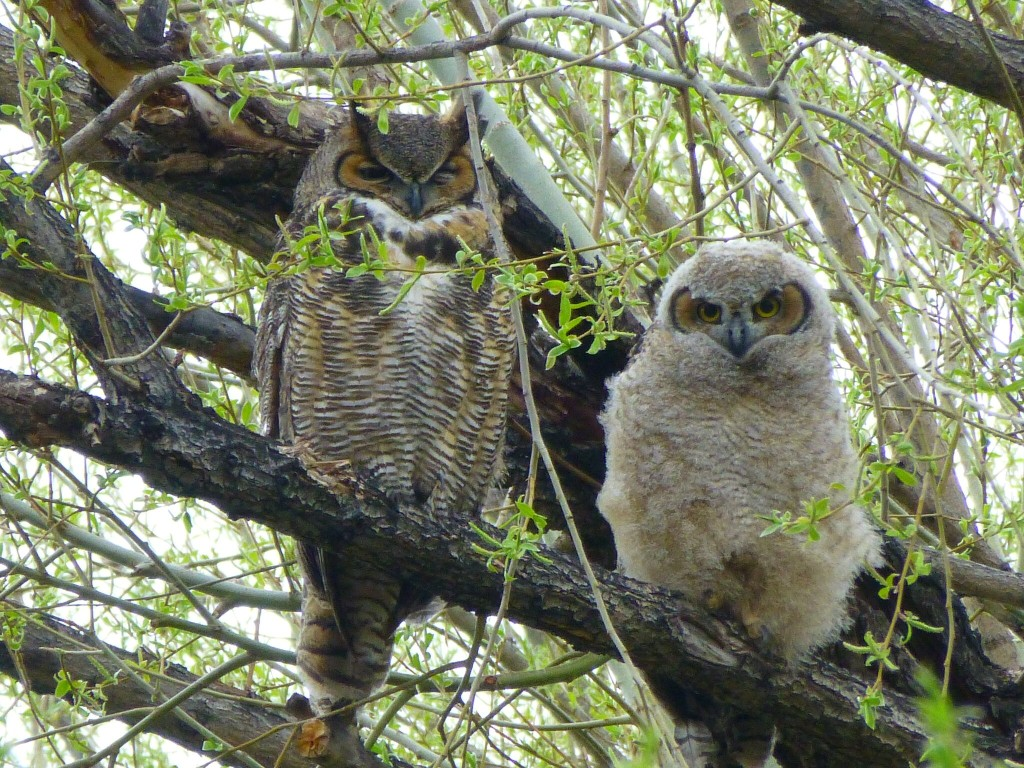 Owl_Mom_Baby_c_Dave_Levy_ProTrails.